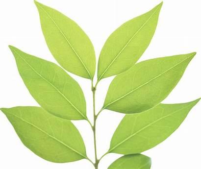 Leaf Transparent Leaves Icon Clip Favicon Freepngimg
