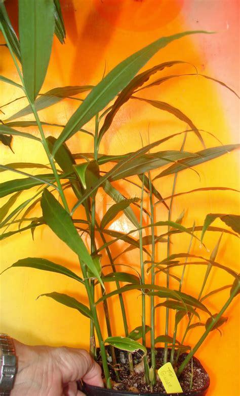 cuisine hardy inside polynesian produce stand spicy alpinia galanga plant greater galangal sm