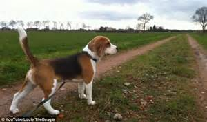 Beagle Full Grown Weight | www.imgkid.com - The Image Kid ...