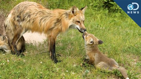 dads   animal kingdom youtube