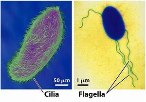 Useful Notes on Cilia and Flagella (1426 Words) | Biology