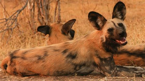 15 things you didn 39 t know about african wild dogs afktravel