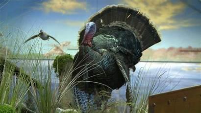 Turkey Background Desktop Bird Hunting Wild Wildlife