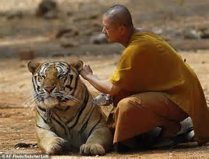 Wildlife Officials Famed Thai Temple Doesn't Abuse Tigers