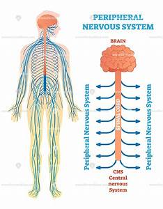 Peripheral Nervous System Vector Illustration Diagram