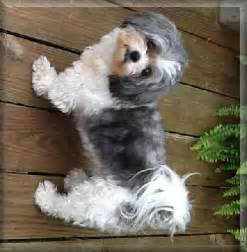 Full-Grown Shih Tzu Poodle Mix