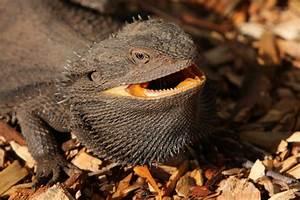 Black Bearded Dragons