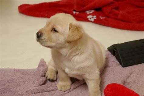Welpen  Winter Tears Labradors