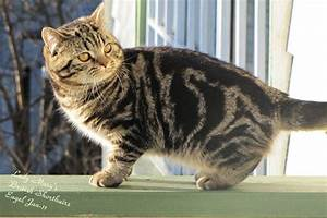 Tabby info - Lady Mary's british shorthair tabby, spotted cat