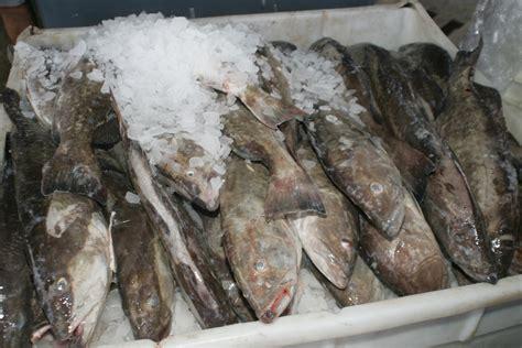grouper florida sea avoiding fake tips commercial collier grant extension county
