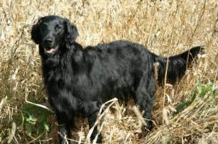 flat coated retriever shedding flat coated retriever temperament personality