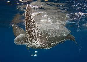 Leatherback Sea Turtle Predators