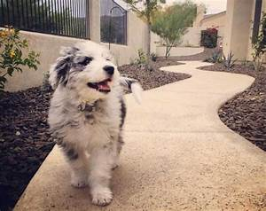 Understanding The Confusion Of The Aussiepoo, Aussiedoodle ...