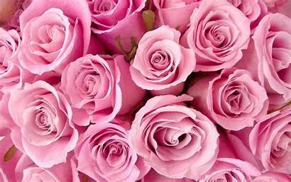 Pink Roses Wallpapers Special Rose Background Backgrounds