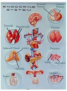 Endocrine Glands Diagram Labeled