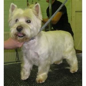 West Highland Terrier Haircut | Dog Breeds Picture