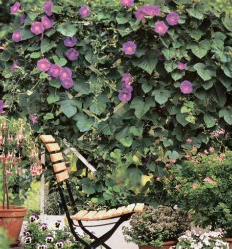 kletterpflanzen balkon winterhart der saengerhof kletterpflanzen