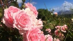 Wie Oft Blumen Gießen : blumen aus afrika das undurchsichtige gesch ft mit der rose zum muttertag ~ Orissabook.com Haus und Dekorationen