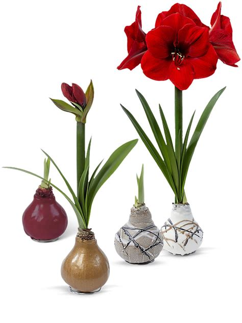 care of an amaryllis red amaryllis easy care waxed amaryllis sovereign amaryllis