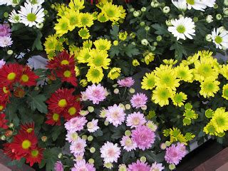 beautiful flowers cherysanthmum