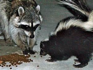 Common Raccoon pictorial