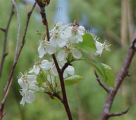 PlantFiles Pictures: Southern Crabapple, Narrow-leaved ...