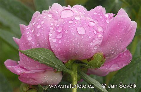 Paeonia sp. Pictures, Peony Images, Nature Wildlife Photos ...