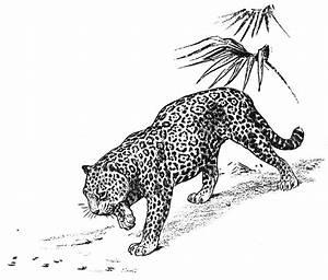 jaguar coloring pages grig3org With jaguar s type black