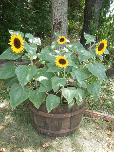 can i grow sunflowers in pots 25 best ideas about whiskey barrel planter on container flowers cottage front yard