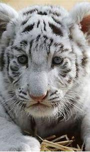 white-tiger | Baby Animal Zoo
