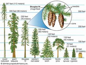 Douglas Fir  Conifers