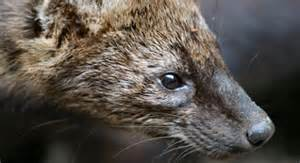 where do fisher cats live fisher basic facts about fishers defenders of wildlife