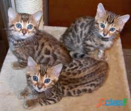 bengal cat for and bengal kitten for free adoption in