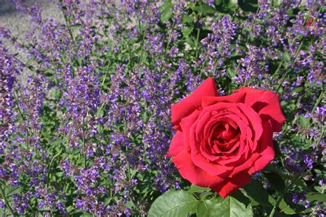 good companion plants  roses