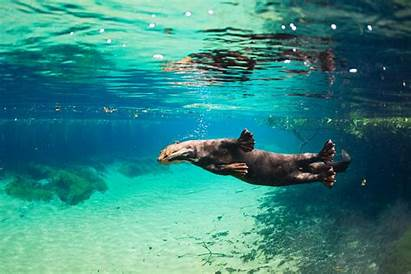 Otter Giant River Sea Otters Animals Facts