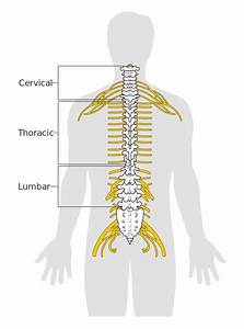File Diagram Of The Spinal Cord Cruk 046 Svg