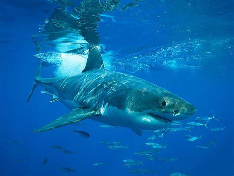 Monterey Bay Aquarium Great White Shark