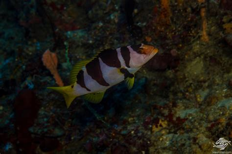 grouper coral saddled diet seaunseen photographs facts plectropomus laevis