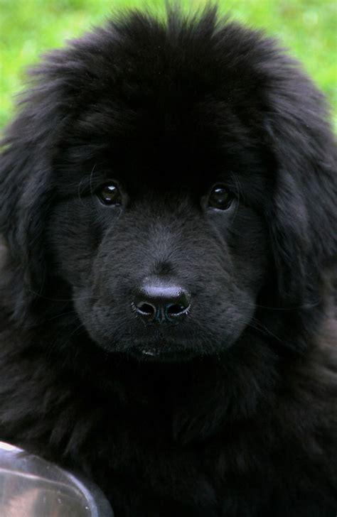 newfoundland big dog breeds vh pet symptoms