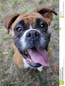 Boxer Dog Head Close Up Royalty Free Stock Image - Image ...
