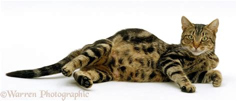 cat pregnancy what to do if your cat becomes pregnant
