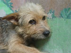 images for wire haired breeds breeds picture
