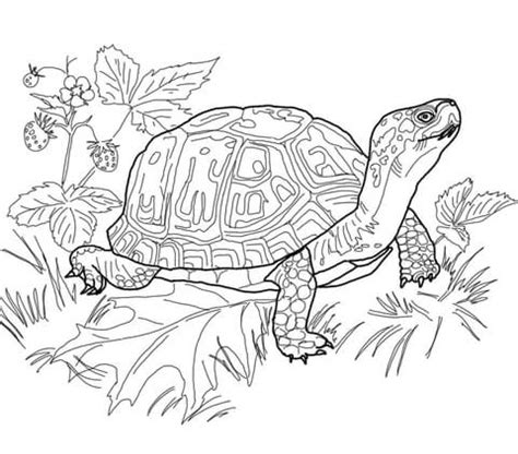 eastern box turtle coloring page  printable coloring
