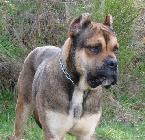 spanish bulldog alano espanol info temperament puppies