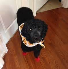 1000 images about dogs wearing boots shoes on pinterest