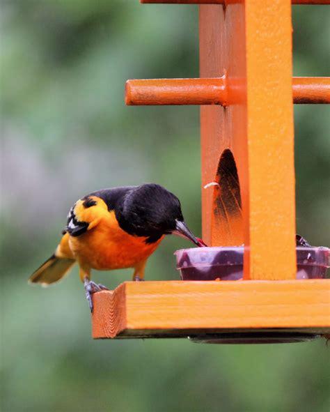 birds        baltimore