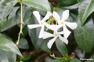 Jasmin Pflanze Pflege : jasmin pflanze jasminum pflege anleitung plantopedia ~ Markanthonyermac.com Haus und Dekorationen