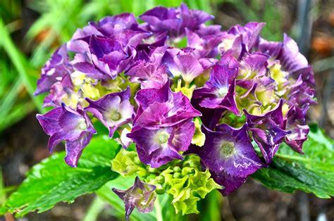 purple hydrangea luann kessi hay baler back in action