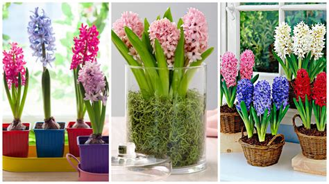 planting hyacinths in pots how to choose the right bulbs