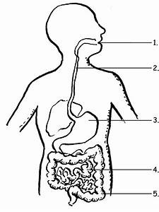 Image Result For Label The Digestive System For Grade 4